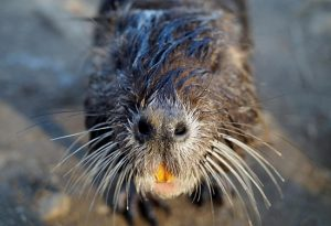 Coastal Loss Series, Part Two: Nutria – How an introduced species can affect a habitat